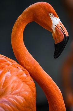 Caribbean Flamingo -  by Brian Stevens