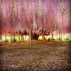 A 100-year-old fuji (wisteria) tree in Ashikaga Flower Park in Ashikaga City, Japan. Photo by Brian Young