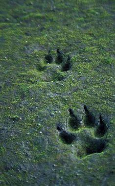 wolf, animal, and footprint image Half Elf, Solas Dragon Age, Howleen Wolf, Timberwolf, Yennefer Of Vengerberg, The Ancient Magus, She Wolf, Beast Boy, Big Bad Wolf