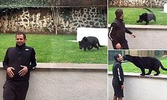 At first it looks like the man is doomed, as the powerful panther approaches him stealthily from behind. But at the last minute the man turns and the pair play and kiss, in a heartwarming viral video.