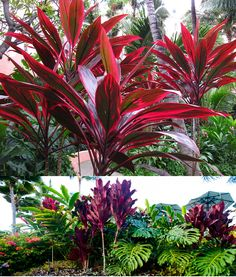 Hawaiian Ti Plants (Cordyline Terminalis) Zone Part Shade-Full Sun (afte Florida Landscaping, Tropical Landscaping, Tropical Garden, Tropical Plants, Front Yard Landscaping, Florida Gardening, Zone 10 Plants, Plant Zones, Backyard Plants