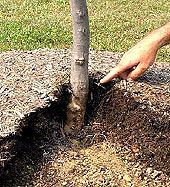 How To Mulch Around Plants Properly... my landscaper taught me this looooong ago: do NOT place mulch up against any tree trunk or plant main stem!!! it allows the bugs and diseases to attack the trunk in a completely protected area. Leave approx. 3 in space....