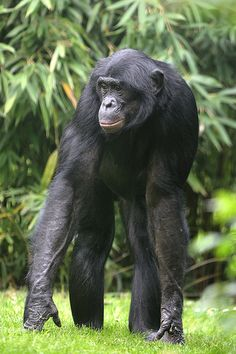 Bonobo males are about 4 feet in length while females are up to 3.5 feet. Learn more! http://www.awf.org/wildlife-conservation/bonobo