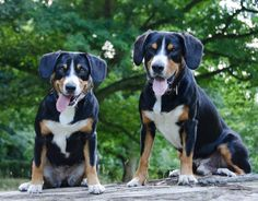 The Entlebucher's Behaviour and Personality - Our Experience - Alfie's Blog