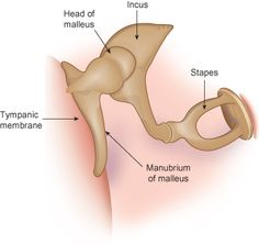 incus anatomy | The auditory ossicles – the malleus, incus, and stapes – span the ...