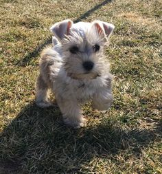 Ranked as one of the most popular dog breeds in the world, the Miniature Schnauzer is a cute little square faced furry coat. Miniature Schnauzer Puppies, Schnauzer Puppy, Schnoodle Puppy, Cute Baby Animals, Animals And Pets, Funny Animals, Fox Terriers, I Love Dogs, Cute Dogs
