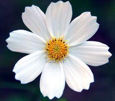 white cosmo flower