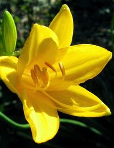 Warm yellow daylily at Bayard Cutting Arboretum State Park in North Great River, New York • photo: John on Flickr