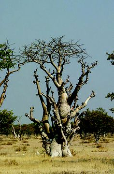 Wheretostay Namibia: Travel Planner & Routes into Namibia Amazing Photos, Cool Photos, Trees Beautiful, Magical Tree, Old Trees, Travel Planner, Tree Art, Garden Sculpture, Bamboo