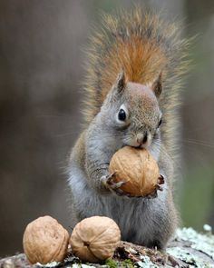 Photo about An American red squirrel (Tamiasciurus hudsonicus) holding a nut, getting ready to carry it away to store it for later. Image of finding, small, squirrel - 68938610 Animals Images, Nature Animals, Animals And Pets, Animal Pictures, Baby Animals, Woodland Creatures, Woodland Animals, American Red Squirrel, Cute Squirrel