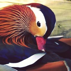 Beautiful Mandarin duck #London by ambir12