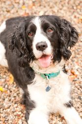 Sassy is an adoptable English Springer Spaniel Dog in West Olive, MI. Don't let her name fool you!  Sassy is a sweet girl with plenty of good manners!  She listens well and knows how to sit and stay. ...