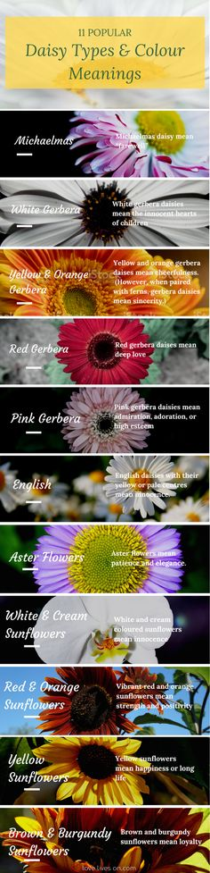 Infographic: 11 Different Types & Colour Meaning of Daisies.  Create meaningful funeral arrangements and sympathy bouquets that express emotions through flowers.