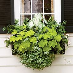 Charming Green Window Box - a light color palette with 'Aaron' white caladium, 'Key Lime Pie' heuchera, 'White Nancy' spotted dead nettle, holly fern, ivy, and light pink periwinkle.