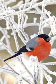 winter bird singing the praises of sorel boots