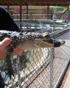 Fun family attractions in Rapid City, South Dakota -- yes, you can pet an alligator!