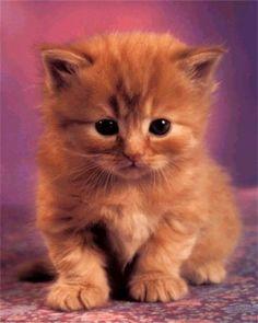 Chaton mignon roux