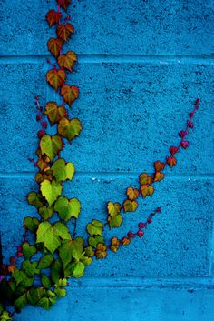 Blue Wall Green Ivy