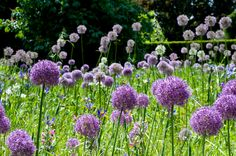 Field of Alliums