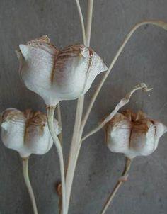 Fritillaria pluriflora seed pods