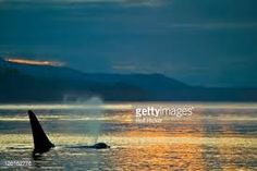Image result for killer whale canada