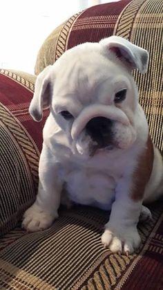 Adorable Bulldog puppy