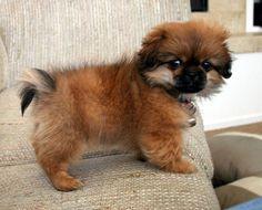chihuahua shih tzu mix puppies for sale Zoe Fans Blog