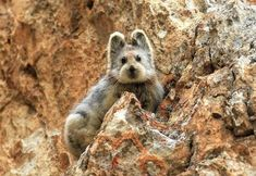 This adorable, rare creature is called Ili Pika, and it's one the most endangered species on the planet. The pictures I am about to show you are the first ones taken in nearly 20 years!