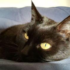 Sora ojos amarillos. #gato #sora #gatanegra #blackcat #cat #catsofinstagram #lovelycat #gatosdeinstagram #gatosdelmundo #pelusa #pelusanegra #amordegato #catslove #catslover #catstagram #catexperience #gatovago #catoftheday #crazycatlady #caturdays365 #caturday