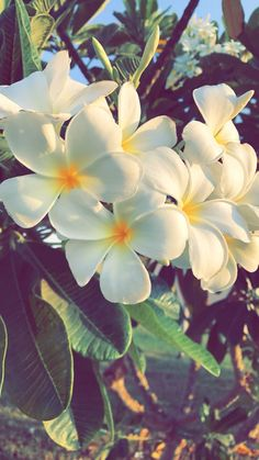 Photo of white Hawaiian flowers called Plumeria. Summer Wallpaper, Wallpaper Iphone Cute, Aesthetic Iphone Wallpaper, Flower Wallpaper, Nature Wallpaper, Cute Wallpapers, Aesthetic Wallpapers, Flower Backgrounds, Wallpaper Backgrounds