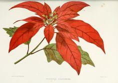 Poinsettia pulcherrima - circa 1878