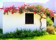 Bougainvillea – A magical exotic plant for the garden