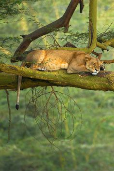 wolverxne:  Big Cat Nap ~ by: Stephen Oachs