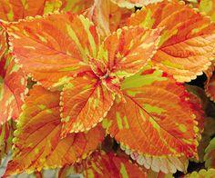 Coleus 'Freckles' This orange coleus would be great around my pond!!