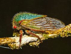 Here's a Bug That Gives Birth to Rainbows Catch More Creatures Here: http://www.thefeaturedcreature.com/2012/09/heres-bug-that-gives-birth-to-rainbows.html#ixzz286Tlh9Bt