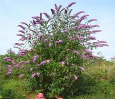 Butterfly Bush-another plant that is growing much faster than anticipated.  It was so warm and damp this spring.  I had to prune it like crazy.