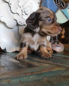 Dachshund Facts, Dachshund Funny, Dachshund Breed, Brown Dachshund, Dachshund Puppies For Sale, Dapple Dachshund, Long Haired Dachshund, Mini Dachshund, Daschund