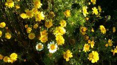 Blomme in Saldanabaai