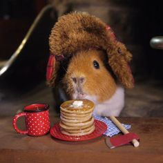 The Excellent Adventure Sanctuary (for guinea pigs with extra needs), Northampton, Northamptonshire. A specialist sanctuary supporting guinea. Guinea Pig Costumes, Guinea Pig Clothes, Animals And Pets, Funny Animals, Guniea Pig, Baby Guinea Pigs, Cute Piggies, Cute Hamsters, Little Critter