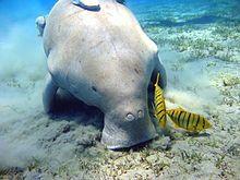 Dugong hunting in Australia - Wikipedia, the free encyclopedia