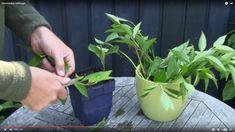 Se, hvordan du selv kan dyrke forsytia, syren, uægte jasmin og frugtbuske fra halvmodne stiklinger.