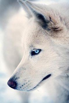 White wolf. Beautiful!