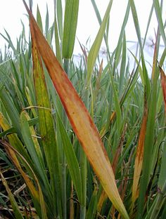 Management suggestions for barley yellow dwarf virus control Weed, Management, Winter, Plants, Winter Time, Marijuana Plants, Plant, Winter Fashion, Planets