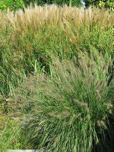 Grassen horen in prairiebeplanting: zoals Panicum en Pennisetum bijv.