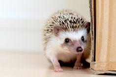 Hedgehog. Okay someone try to deny the cuteness? SO CUTE