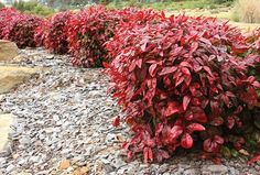 Nandinas for hedging Hedging Plants, Nandina Plant, Plants, Front Landscaping, Foliage, Identify Plant, Gardening Zones, Hedges, Southern Living Plants
