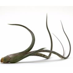 Baileyi Air Plant: Tillandsias are commonly known as airplants, they are native from deserts, forests and mountain regions of central and south America.  No soil needed! They absorb moisture and nutrients through their leaves from the air and the rain.
