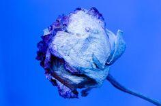 Como cultivar rosas azuis. As rosas azuis são uma espécie de flores alteradas pelo ser humano, já que na natureza não existem pigmentos com esse tom que as dotem dessa cor. São rosas muito bonitos que se foram popularizando com...