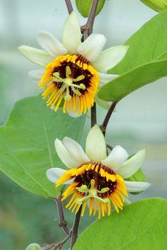Passiflora holosericea - Passifloraceae