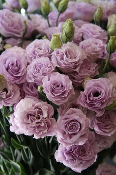 Eustoma variety with lavender flowers (Rosina laven .- Eustoma variety with lavender flowers (Rosina lavender).